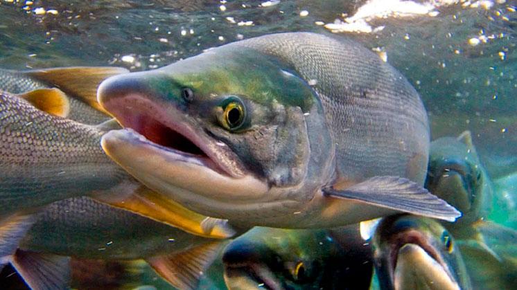 Про лосося