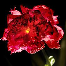 Красная гвоздика