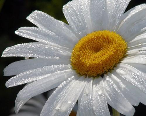 Ромашка - символ Дня семьи, любви и верности