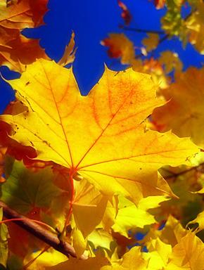 Жёлтый лист кленовый