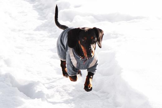 Такса на прогулке. Фото 10 / Dachshund on a walk. Photo 10