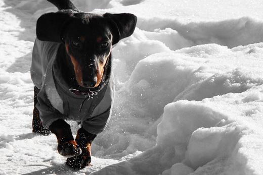 Такса на прогулке. Фото 1 / Dachshund on a walk. Photo 1