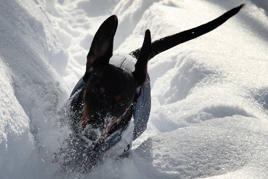 Такса-снегоход / Dachshund-snowmobile