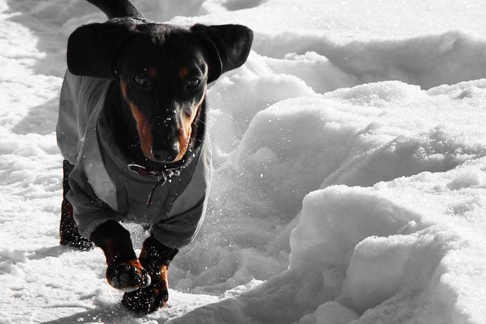 Такса на снегу. Фото 1