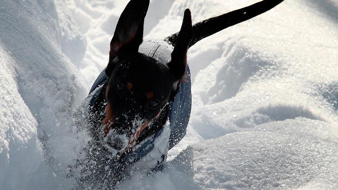 Такса-снегоход