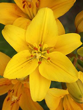 Жёлтая лилия