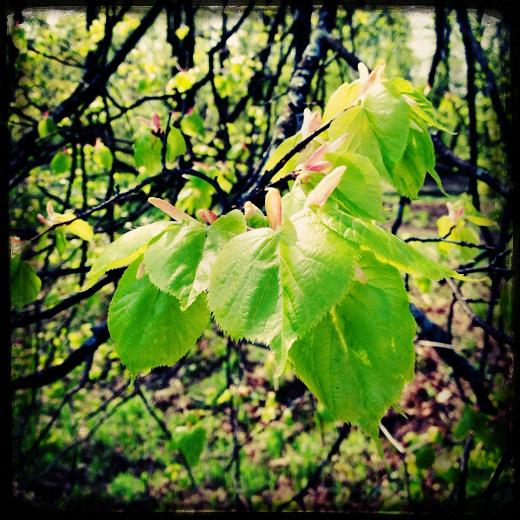 Свежесть, свежесть, свежачок. Молодые листья липы / © фото Роман Данилин' 2012 / www.romaha.su