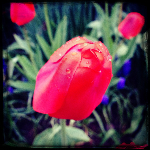 Увидел тюльпаны