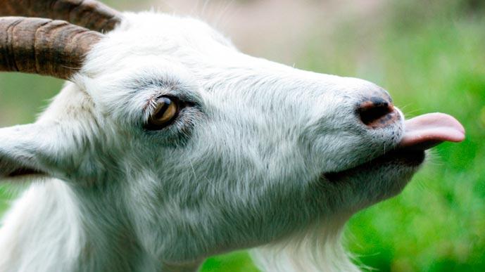 Жила была коза